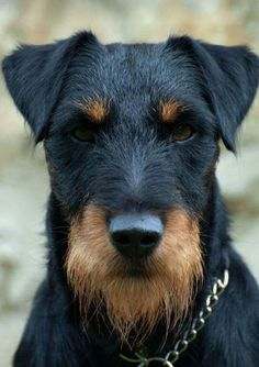Jagdterrier Unique Dog Breeds, Rare Dog Breeds, Patterdale Terrier, Airedale Terrier, Curly Coated Retriever, Big Dogs, Dogs And Puppies, Doggies, Really Cute Puppies