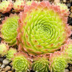 Sempervivum Sirius S-1125 Simply Succulents
