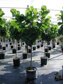 Ficus lyrata. I would love to get one of these for my birthday :)