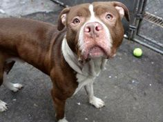 TO BE DESTROYED TUESDAY, 3/11/14- Manhattan Center    SPIKE - A0993192   MALE, BROWN / WHITE, PIT BULL MIX, 4 yrs  STRAY - STRAY WAIT, NO HOLD Reason STRAY   Intake condition NONE Intake Date 03/05/2014, From NY 10468, DueOut Date 03/08/2014  https://www.facebook.com/photo.php?fbid=768632866482928&set=a.617938651552351.1073741868.152876678058553&type=3&permPage=1