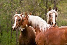 Cowboy Dressage™ at Wolf Creek Ranch - Morgans and Saddlebred