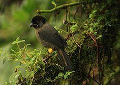 O Pselliophorus tibialis é uma ave passeriforme da família Emberizidae. É endêmica nas regiões montanhosas da Costa Rica e no Panamá ocidental.[1]                                                                                                                                                                                 Mais