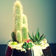Make your own cactus terrarium. (in French!)