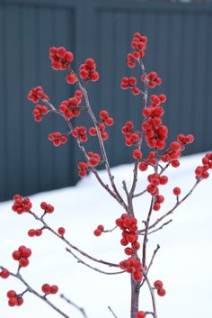 Feed the Birds: 6 Plants for Abundant Winter Berries Be kind to your fair feathered friends during lean food times by planting a shrub or tr...