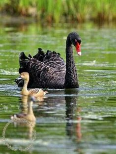 The swans are the largest members of the waterfowl family Anatidae… Swan Love, Beautiful Swan, Beautiful Birds, Animals Beautiful, Kinds Of Birds, All Birds, Love Birds, Animals And Pets, Baby Animals