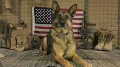 Honoring USMC MWD Zora, L356, KIA on July 16, 2012, OEF. RIP. From United States War Dog Association Facebook page.