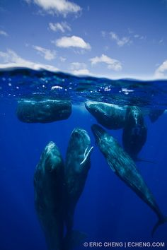 Dominica. Sperm whale social group (split image), via Flickr.  http://www.lonelyplanet.com/dominica