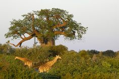 Giraffe and Baobab Tree, Northern Tuli, Botswana Le Baobab, Baobab Tree, Tree Images, Game Reserve, Tree Of Life, South Africa, Giraffe, Country Roads, Trees