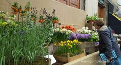 A beautifully scented exhibit from Jacques Amand International Ltd at The RHS London Spring Plant Extravaganza.