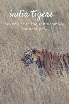 #tiger #wildlife #india rathambore national park | india wildlife | india wildlife national parks | Wildlife of India | India Wildlife Tour Packages | India Wildlife | India wildlife. Birds | tiger safari india | tiger safari | tiger safari oklahoma | tiger safari birthday | tiger safari party | MP Tiger Safari!! | Tiger Safari Tours Central India | Tiger Safari |
