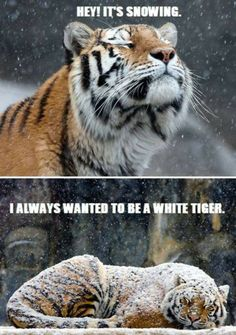 How a yellow tiger becomes a white tiger.  Humor poster of the big cat as it begins snowing. -DdO:) - http://www.pinterest.com/DianaDeeOsborne/big-cats-little-cats - cute pin via Katy Zurin