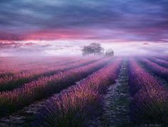 Lavender mist, Provence