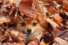 Cute Pomeranian.