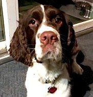English Springer Spaniel dog for Adoption in Shakopee, MN. ADN-563336 on PuppyFinder.com Gender: Male. Age: Adult