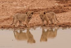 Lion cubs Reflection by Alisa Timurzieva on 500px