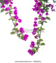 Flowers on a white background close-up ?Bougainvillea Spectabilis? - stock photo