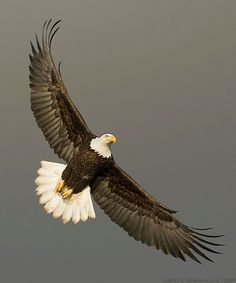 Bald Eagles of Alaska - Bird Photography by David G Hemmings Eagle Images, Eagle Pictures, The Eagles, Bald Eagles, Nicolas Vanier, Rabe Tattoo, Eagle Drawing, Eagle Wallpaper, Eagle Painting