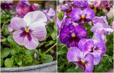 Viola wittrockiana, Stedmoderblomst, er en nem 2-årig sommerblomst, der dog ofte kan opføre sig som egentlige stauder.