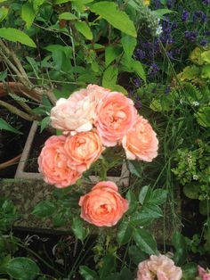 Clever girl patio rose, planted when Victoria got her Law Degree.