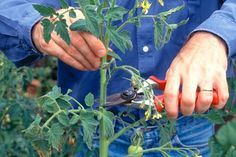 How to ripen late tomatoes - Projects: Fruit and vegetables - gardenersworld.com