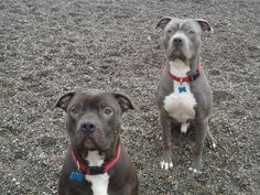 AVA & Q: American Staffordshire Terrier, AUBURN, WA Spayed neutered UTD shots House trnd.  This beautiful bonded duo are quite a pair-they're goofy, playful & very loving.Ava & Q grew up together in the So.CA -Q was attacked by another dog so he's afraid of dogs & & a bit timid when with new people. Ava is quite the social, confident girl that loves to bounce around the yard & wrestle with Q. K9 Rescue & Rehab, Auburn, WA 206 271 5750 EMAIL:info@k9rr.org  FIND IT IN YOUR HEART FOR BOTH OF…