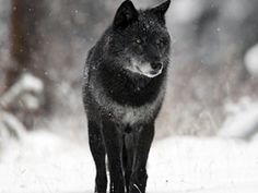most beautiful wolf in the world - Google Search
