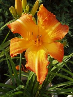 'Highland Pinched Fingers' daylily