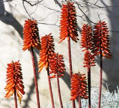 fantastic shot of Aloe blooms Winter Light, Deep Winter, Plant Design, Great Pictures, Planting, Aloe, Gardens, Orange, Plants
