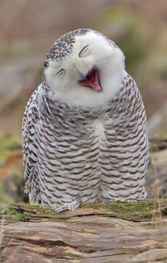 Owl Yawn by Duke Coonrad - Natur Tiere - Animals Funny Owls, Funny Birds, Cute Funny Animals, Beautiful Owl, Animals Beautiful, Beautiful Creatures, Owl Photos, Owl Bird, Tier Fotos
