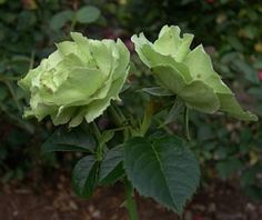 Here is a unique flower that will add to the beauty of your garden. The Green rose! Listed here are the 10 most beautiful varieties. Unique Flowers, Amazing Flowers, Beautiful Roses, Most Beautiful, Beautiful Scenery, Green Rose, Green Flowers, Yellow Roses, Nature Plants