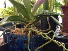 Orchid care : How to Avoid Orchid Root and Crown Rot in Phalaenopsis orchid