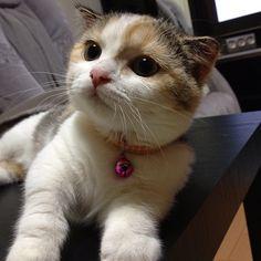 I like this photo: 犯罪名「誘惑罪」 #cats #neko #ねこ #ねこ部 #三毛猫 #calico #マンチカン
