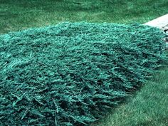 Blue rug Juniper~ This is the lowest- growing Juniper shrub. It is extremely cold tolerant and is a rapid grower with blue foliage.