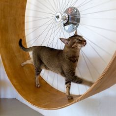 Xerxes walking up, talking up on our cats wheel #holindesign #cattoys