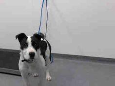 (Tulsa Animal Welfare) Female pit mix found 3/25 #A076462