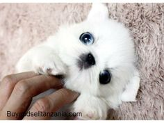 Teacup Pekingese puppies for sale - Classified ads Tanzania - Buy and ...