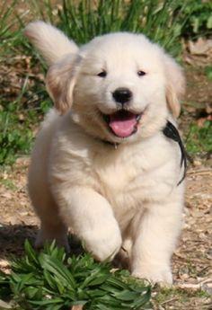 Golden Retriever #animales #perros