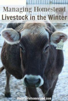 Managing Homestead Livestock in the Winter