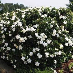 double mint gardenia Bloom Start To End: Mid Summer - Early Fall Habit: Compact Plant Height: 2 ft 6 in - 3 ft Plant Width: 2 ft 6 in - 3 ft Bloom Size: 2 in