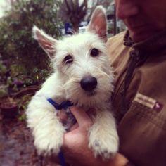 Wheaten Scottish Terrier puppy - our Uilleam