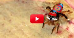 See the Breathtaking Dances of the Peacock Spiders! each species has its own unique moves. - Science Friday via The Rainforest Site Blog