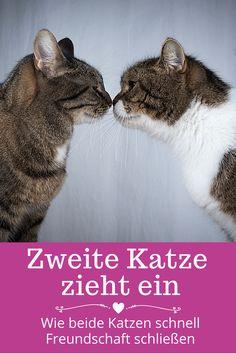 Wenn eine zweite Katze einzieht, kommt es oft zu Problemen und Streitigkeiten. Erfahren Sie, was Sie tun können, damit sich eine gute Freundschaft zwischen beiden Katzen einstellt. Diese Tipps bringen den schnellen Erfolg ... #katzen #zweitekatze #zweitekatzeziehtein #zweitekatzeeingewöhnen #zweitekatzeanschaffen #wohnungskatzen #streitunterkatzen #katzenstreiten #katzenstreitenwastun