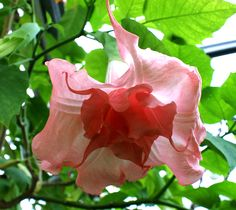 AgriLife Research scientists trumpeting possible new adaptation of tropical flower   AgriLife Today -Angel Trumpet