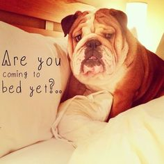 Are you coming to bed yet?.. #Bulldog