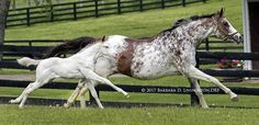 white filly born 4/25 at Indigo Farm, Stanfordville, NY! By Flammabull (Holy Bull), dam Colorfull Seattle (Airdrie Apache).