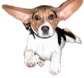 Rescues beagles used for testing