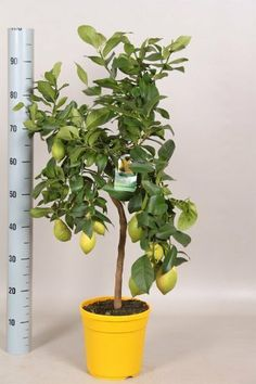LEMON TREE WITH LEMON ON- SUPERB GIFT for mother father friend easter by Best4garden,.