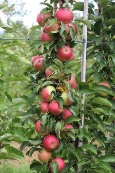 Обрезка колонновидной яблони