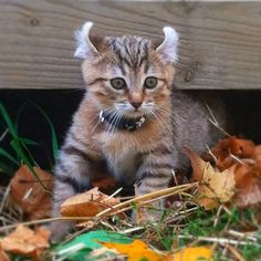 Baby highland lynx, this is Bentley. :)