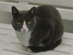 Millie is an adoptable Domestic Short Hair - Gray And White Cat in North Haven, CT. Millie is a beautiful, 3-year old, cat with a rich, dark gray coat, and a white nose, chest, and paws. She is very p...